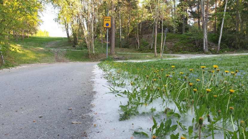 Huddinge M-vägen, aspfrö, 20 maj 2019