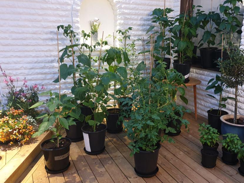 Huddinge M-vägen, växter i uterummet, 8 juli 2019