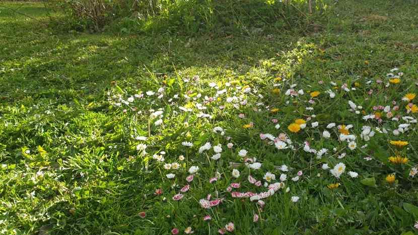 Huddinge M-vägen, sparade blommor vid gräsklippning, 17 maj 2020