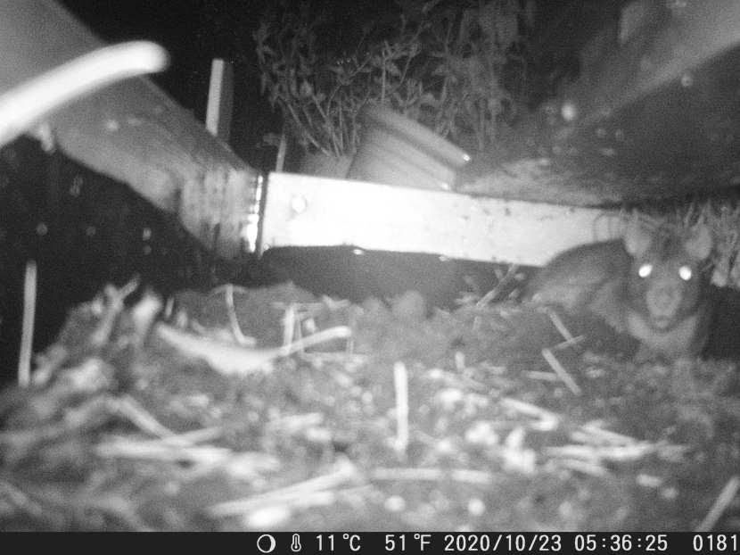Huddinge M-vägen, råtta, 23 oktober 2020